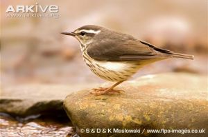 Louisiana-waterthrush