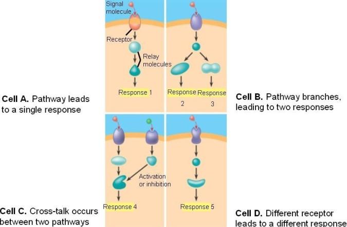 basic signal pathway