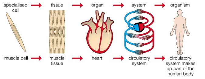 cell tissue organ system