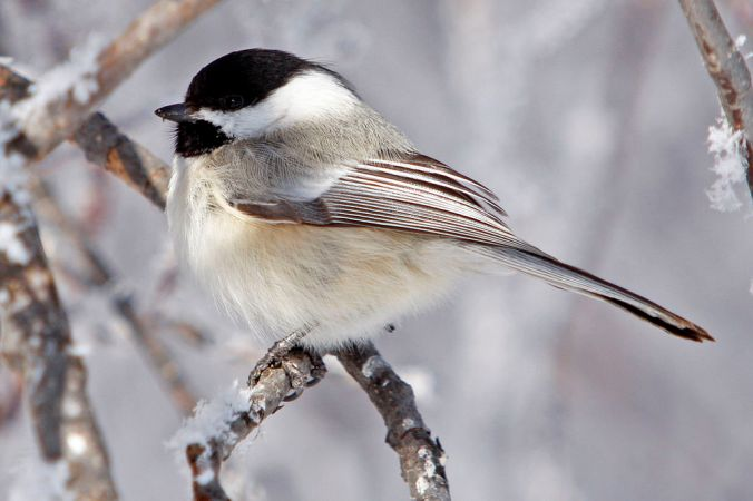 Black-Capped_Chickadee_USFWS