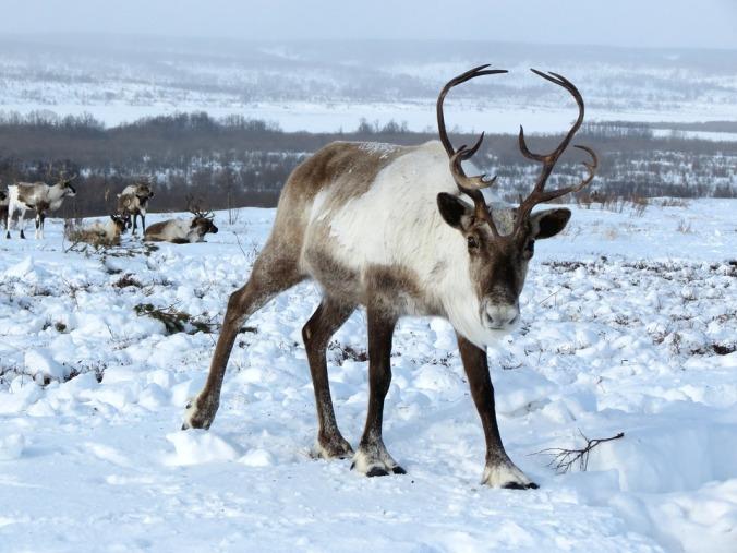 reindeer-2524815_960_720
