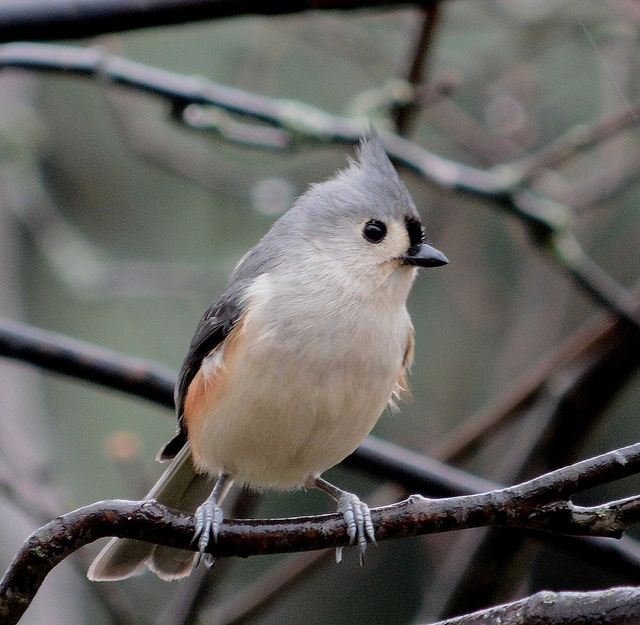 tufted titmouse usfws
