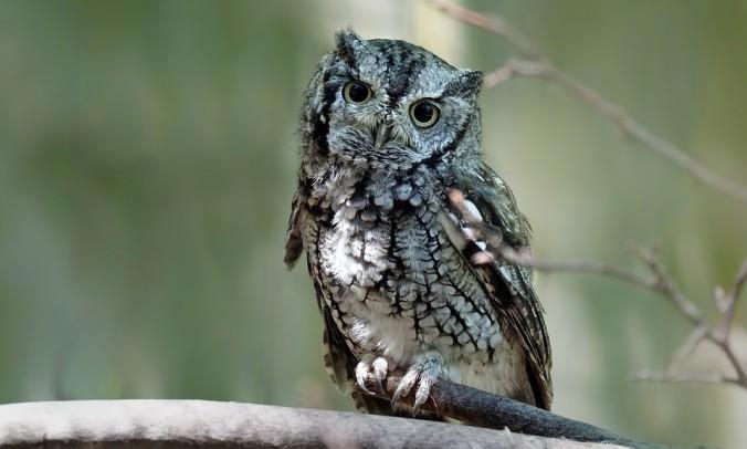 1 eastern screech owl