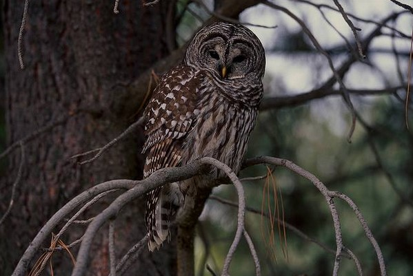 2 barred owl
