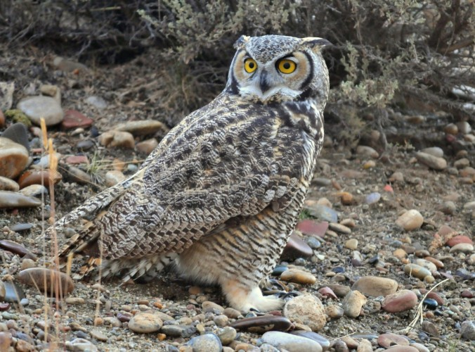 3 great horned