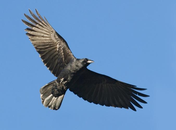 AMERICAN CROW Corvus brachyrhynchos flying
