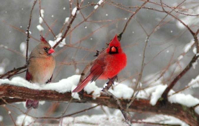 cardinals audubon