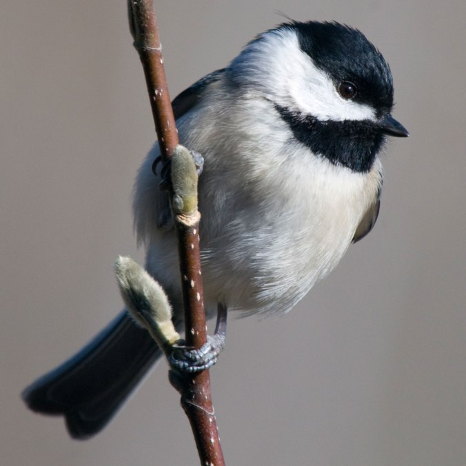 Blackcapped Chickadee59