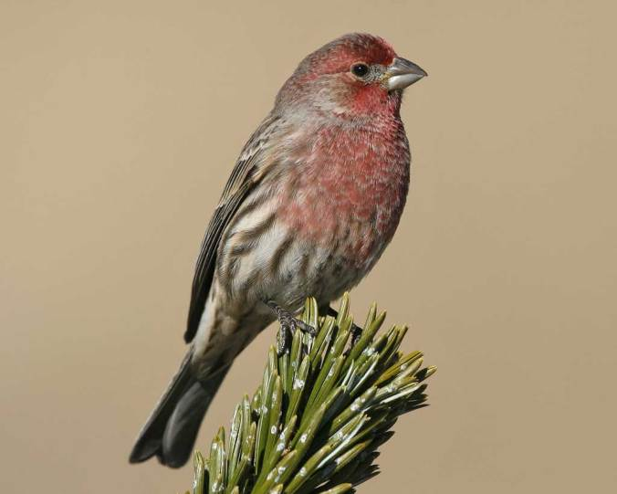 house finch audubon