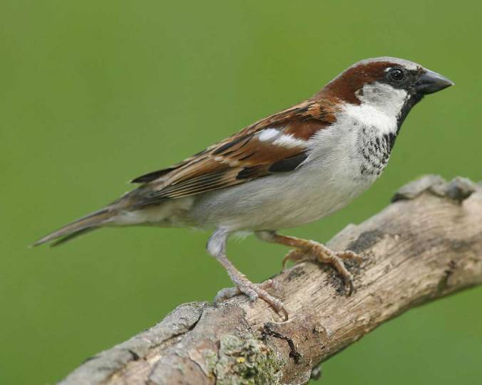 house sparrow audubon