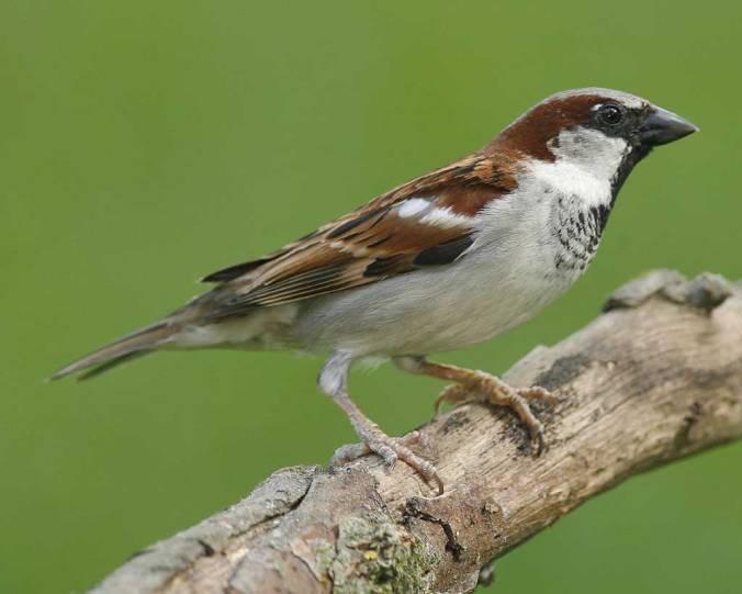 house sparrow audubon