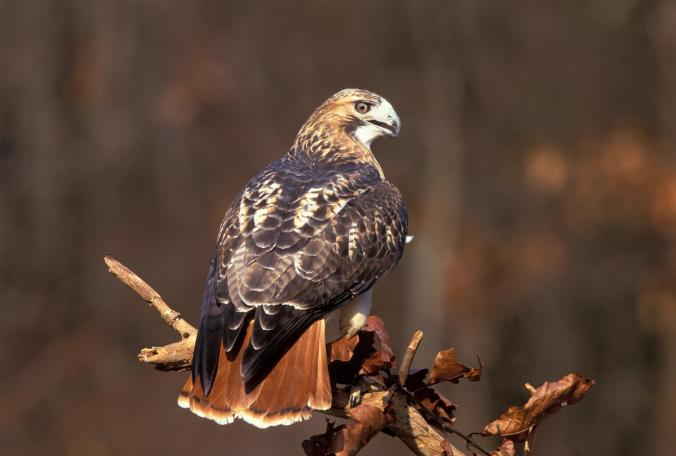 red tailed hawk audubon