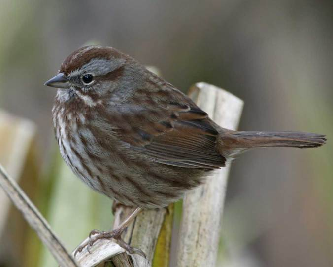 song_sparrow_audubon