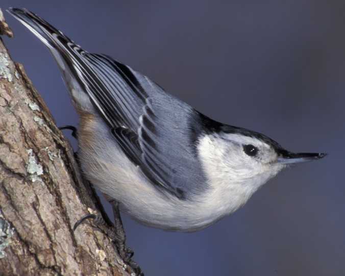 white breasted nuthatch audubon